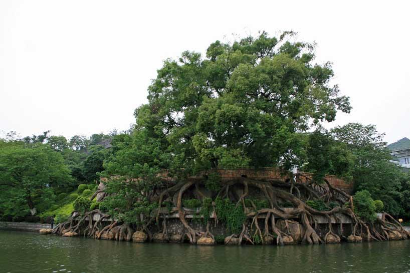 Árbol milenario Banyan de Yangshuo.