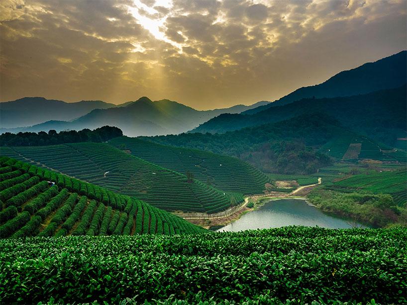 Plantación de té de Longjing - Zhejiang
