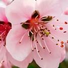 Flor del melocotón