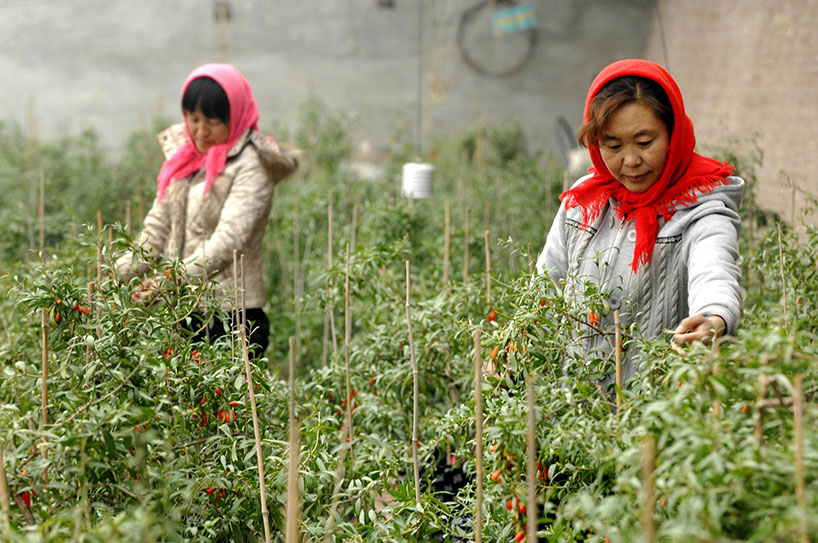 Cultivos de bayas de goji. Las bayas de goji y otros cuatro tesoros de Ningxia